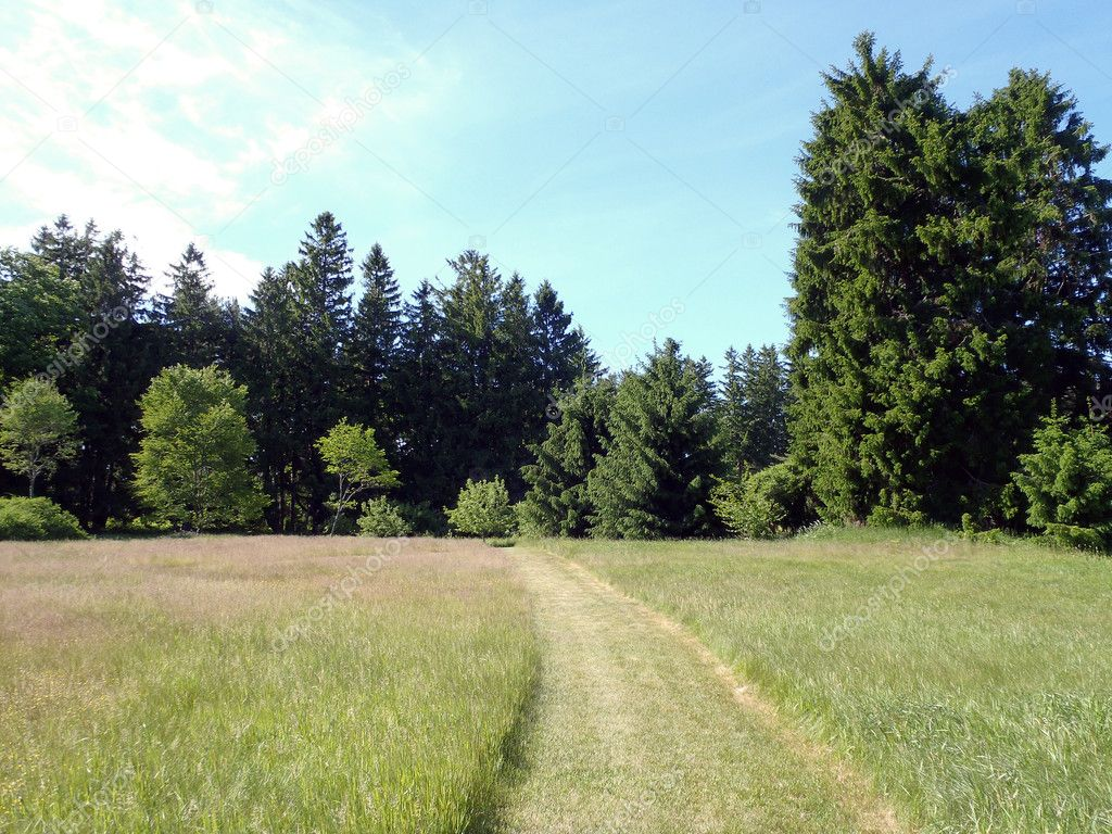 Mowed Path in a grass field with Large Pines around