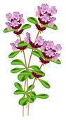 Fotografia Timo di fioritura. illustrazione vettoriale su sfondo bianco