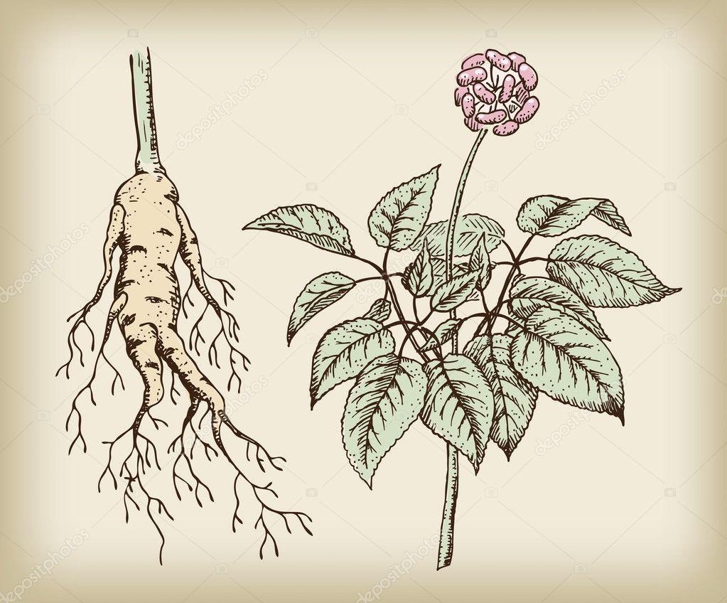 Ginseng (Panax), a medicinal plant. Root, stem, fruit.
