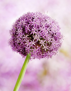Allium, Purple garlic flowers