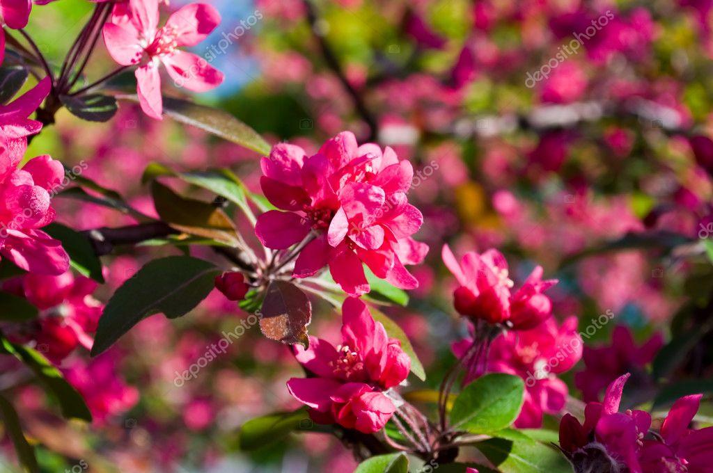 Fiori rossi di alberi da frutto foto stock sergieiev for Alberi da frutto prezzi