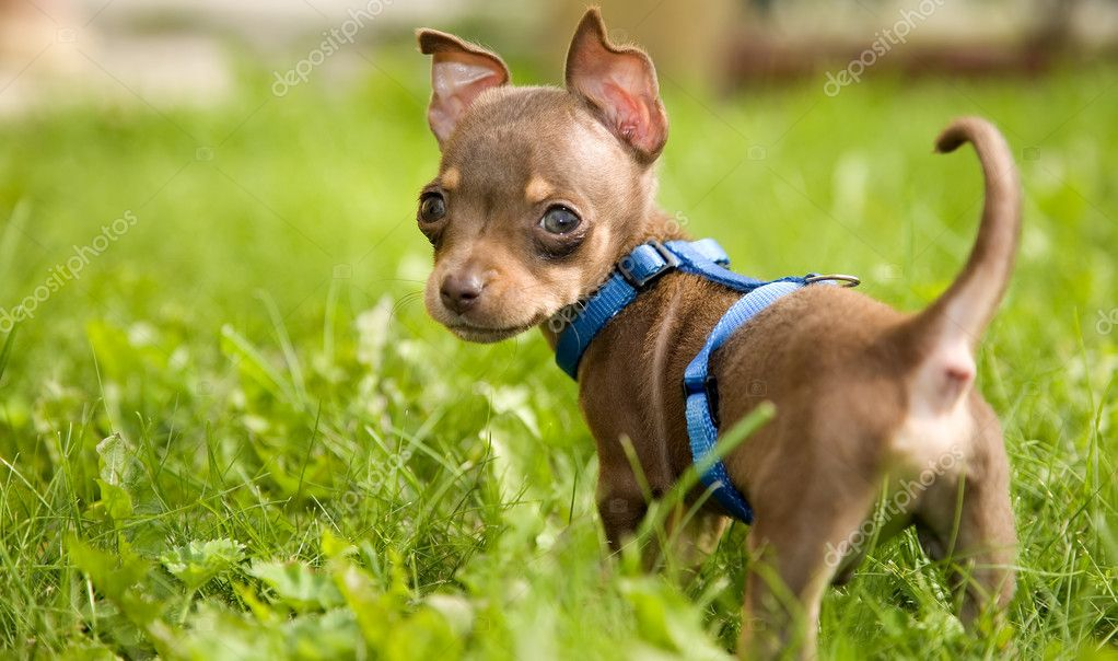 Little dog called toy terrier and grass