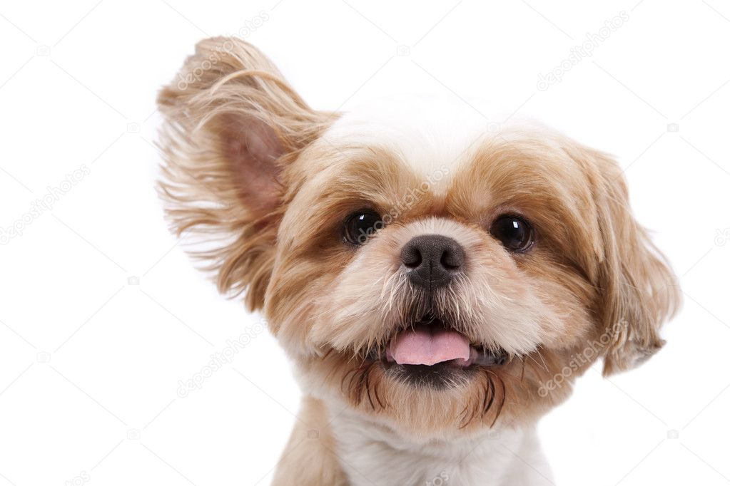 Adorable little dog listen and lift ear and isolated on white background.