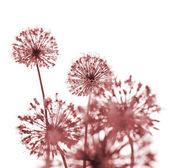 Krásné červené květy / abstraktní na bílém pozadí