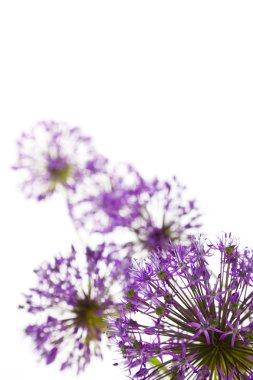Beautiful Allium / abstract on white