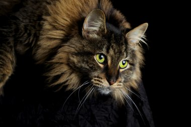 Maine Coon Cat Staring Down