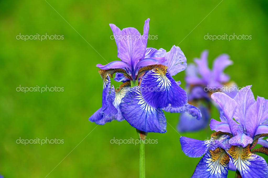 Blue flowers iris