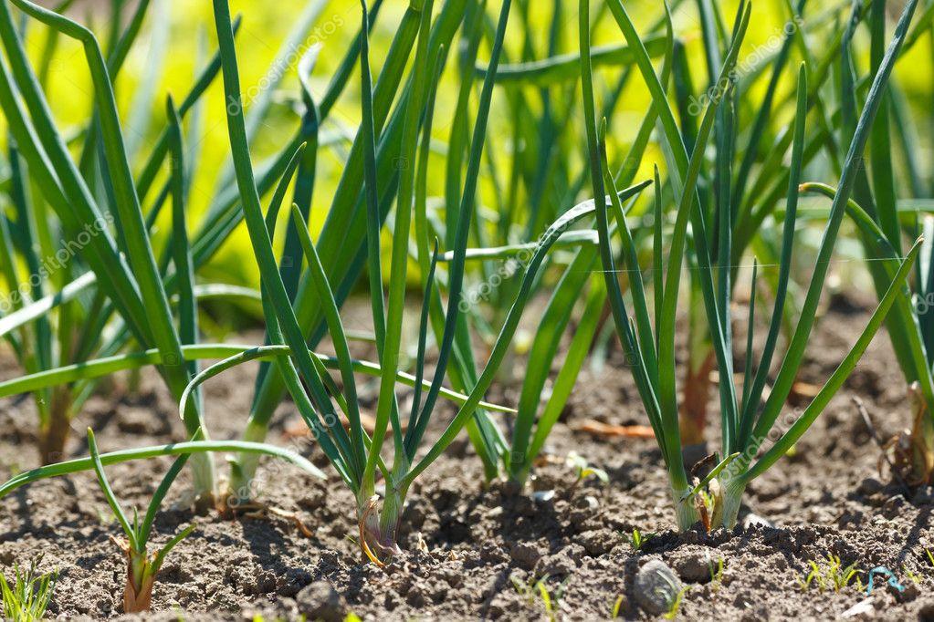 Onions in vegetable garden