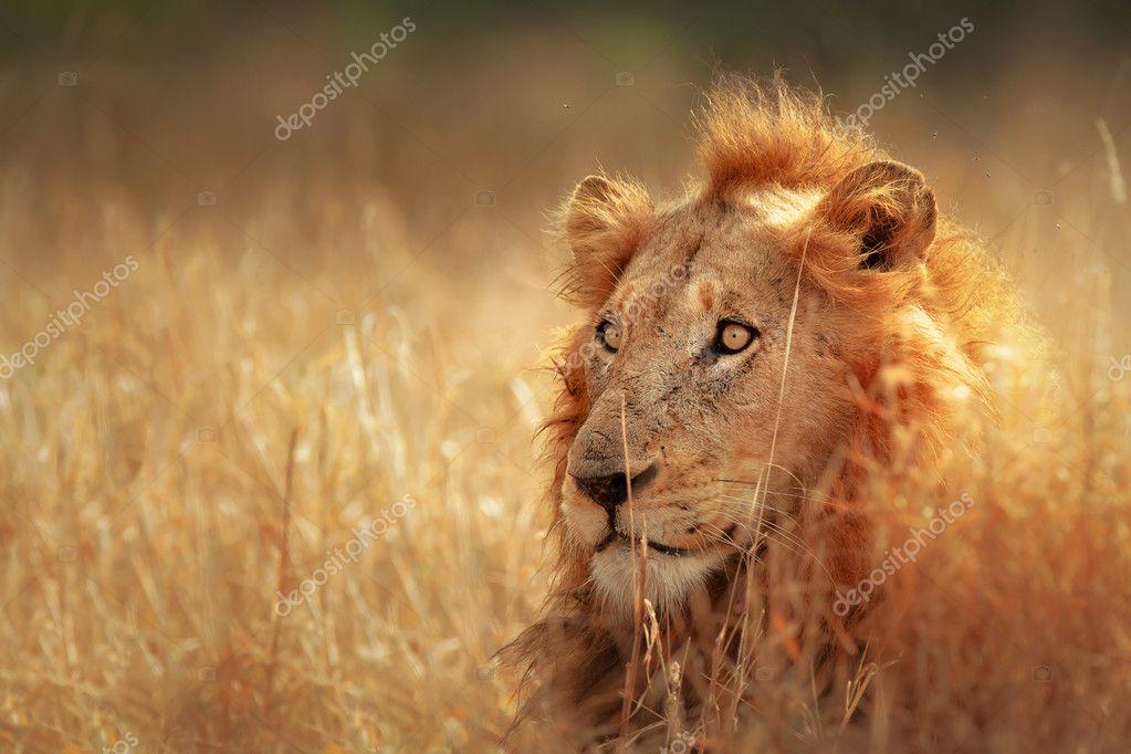 Big male lion lying in dense grassland - Kruger National Park - South Africa stock vector