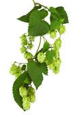 zelené větvičky s zralé šišky chmele