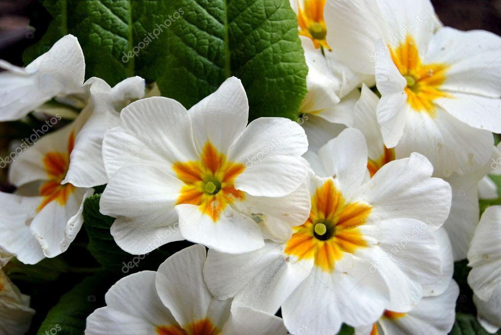 Primule foto stock freeteo 5385395 for Primule immagini