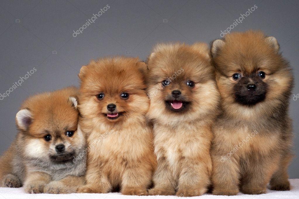 Pomeranian puppies — Stock Photo © enduro #5971435