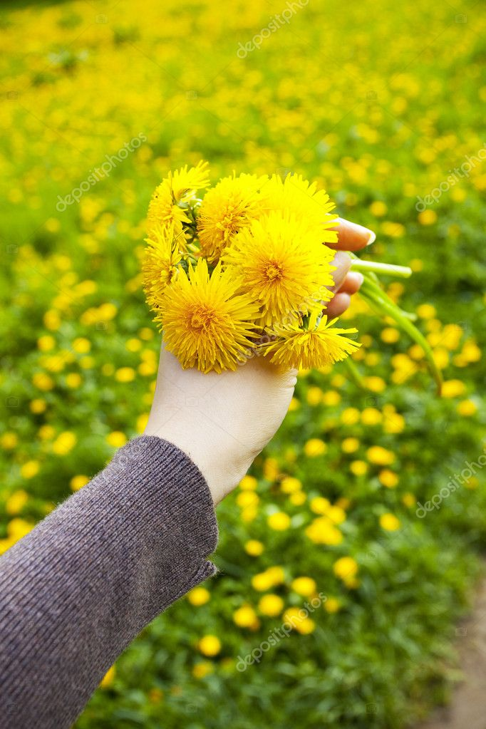 Dandelions in the hands of men on the background field of dandel
