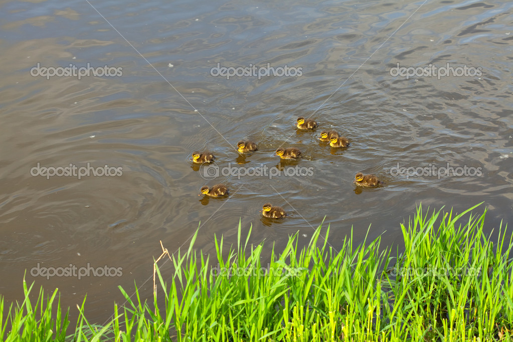 Duck with ducklings swimming in the water