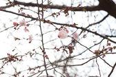 kvetoucí květiny na větvích sakura květů proti