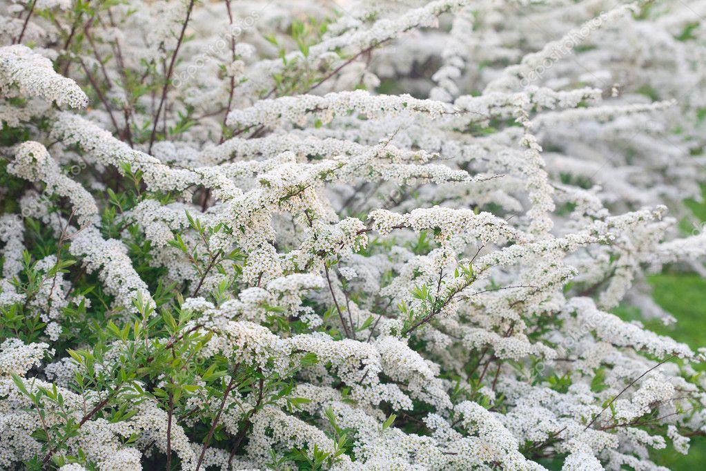 weiße Blüten im Frühjahr Sträucher — Stockfoto © evgeniyauvarova ...