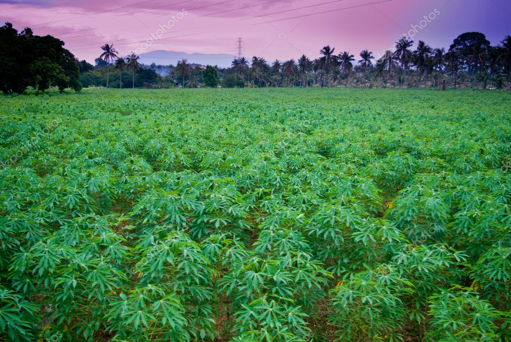 Cassava farm with sunset time