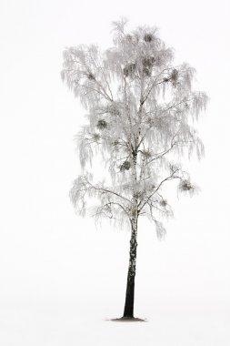 Birch in a winter season