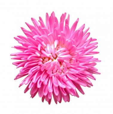 Single aster flower head isolated on white