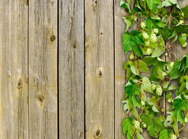 A old wooden fence and a climber plant hop