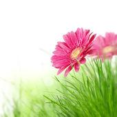 květy Gerber