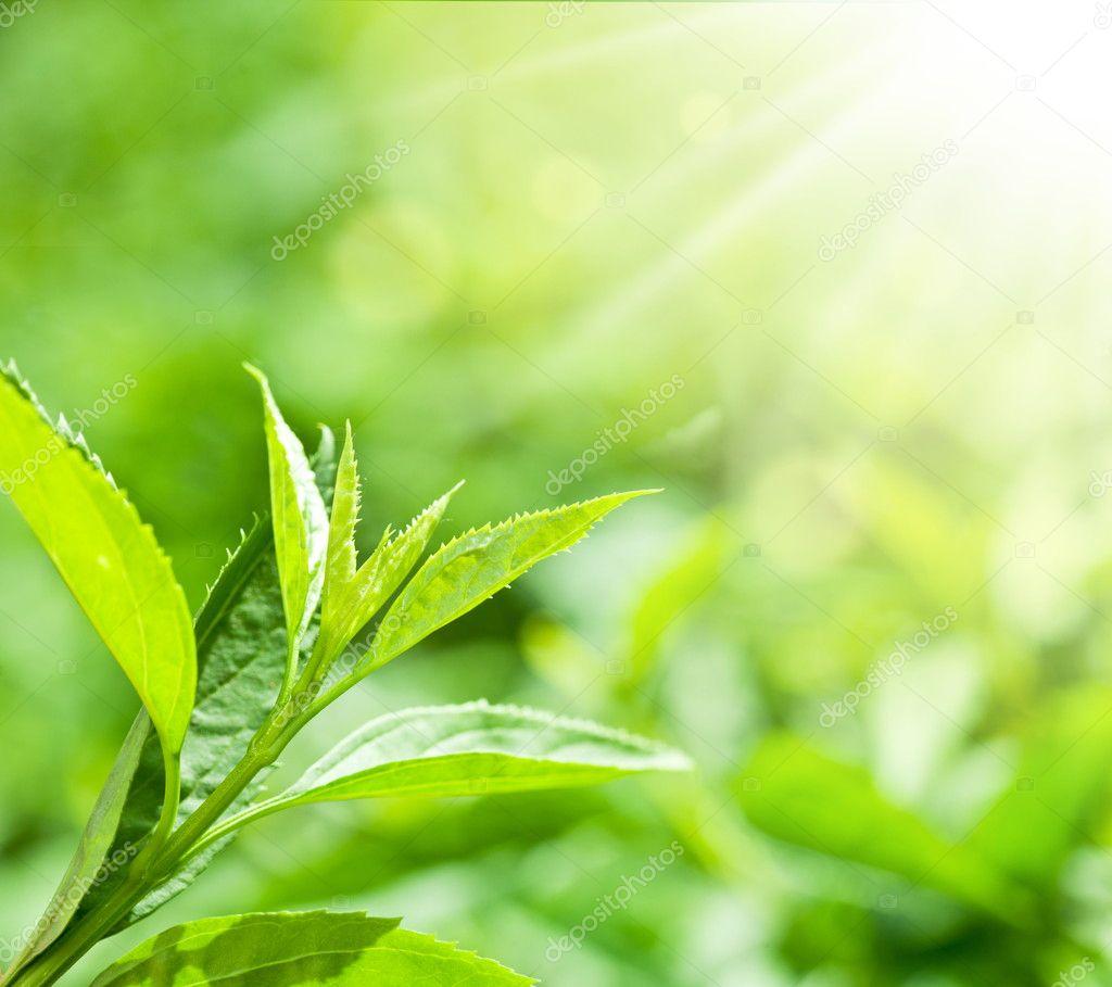 Tea Leaf with Plantation