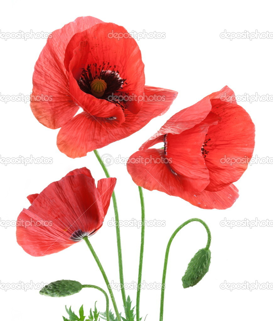 Beautiful red poppies isolated on a white background.