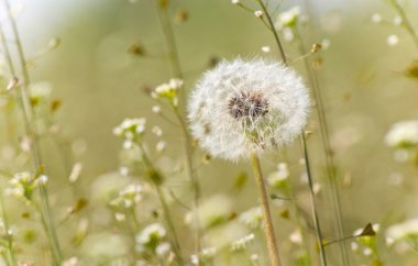 Pratal dandelion