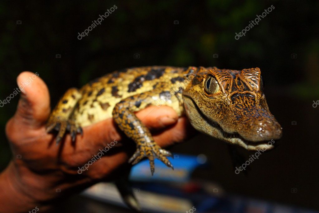 Young cayman reptile with beautiful eyes