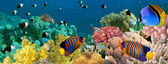 Fotografie Underwater panorama with Angel fish, coral reef and fishes. Red