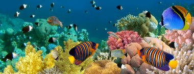 Underwater panorama with Angel fish, coral reef and fishes. Red