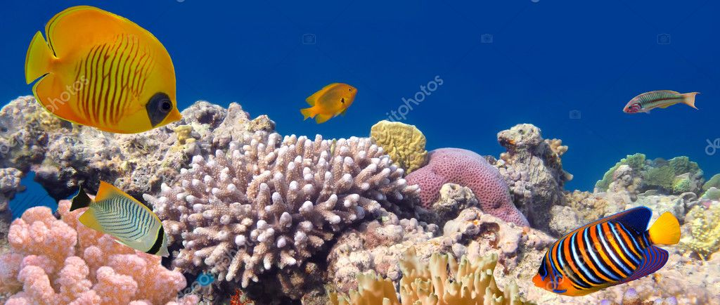 Underwater panorama with Masked Butterfly Fish. Red Sea, Egypt