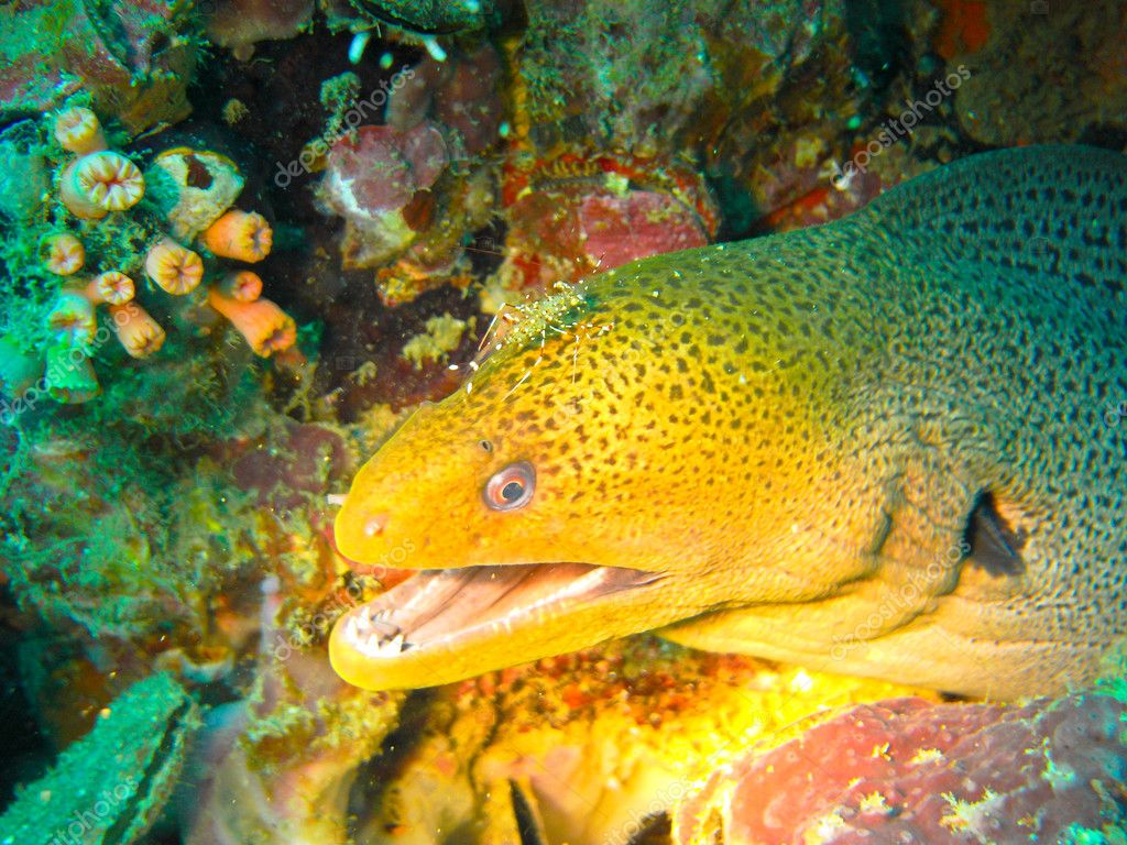 Moray eel showing teeth while getting cleaned by cleaner shrimp
