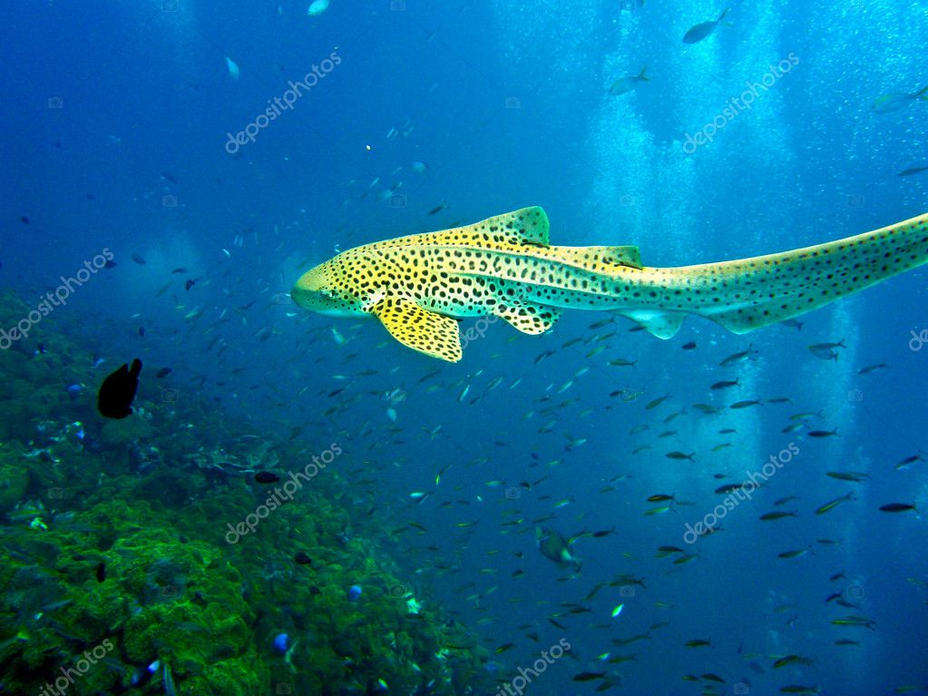 Leopard shark swimming in blue water of Andaman Sea around Phi Phi island