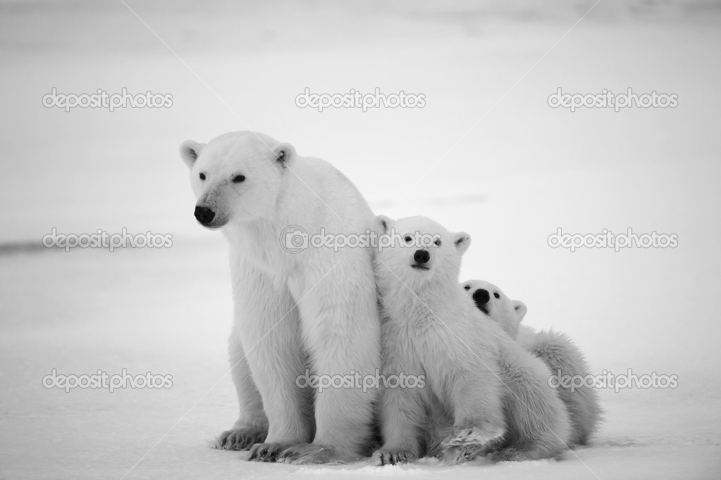 White she-bear with cubs. A Polar she-bear with two small bear cubs. Around snow.Black and white photo. stock vector
