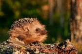 Fotografie European hedgehog