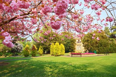 Blooming pink cherry tree in the park