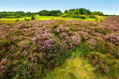 Fields of heather