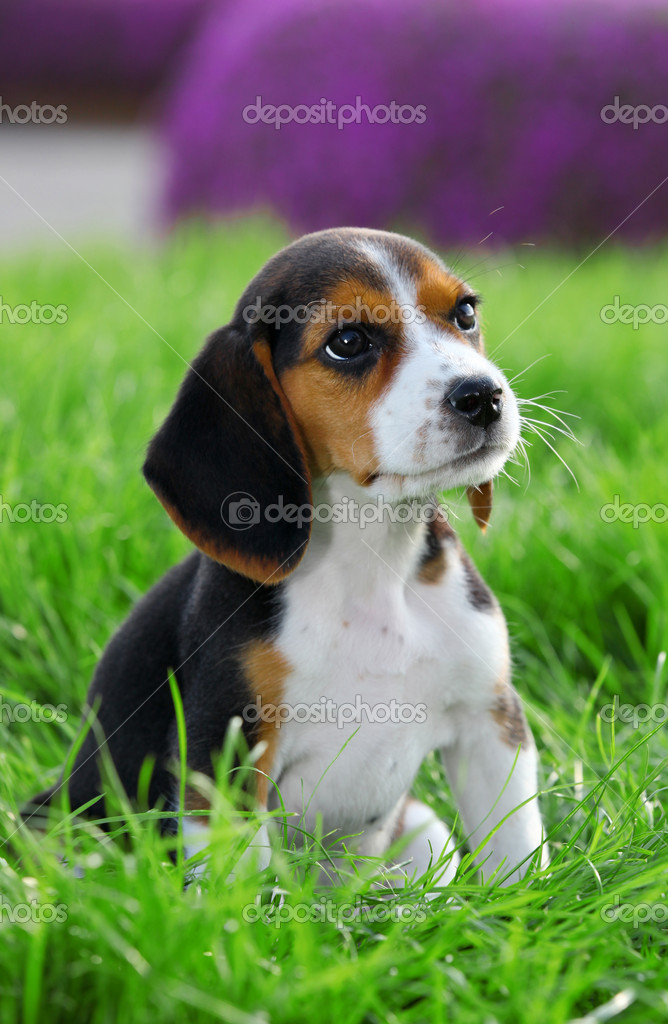 Pedigree beagle puppy playing outside in the grass