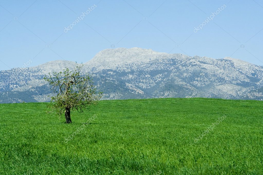 Countryside in mallorca spain, olive tree and mountain