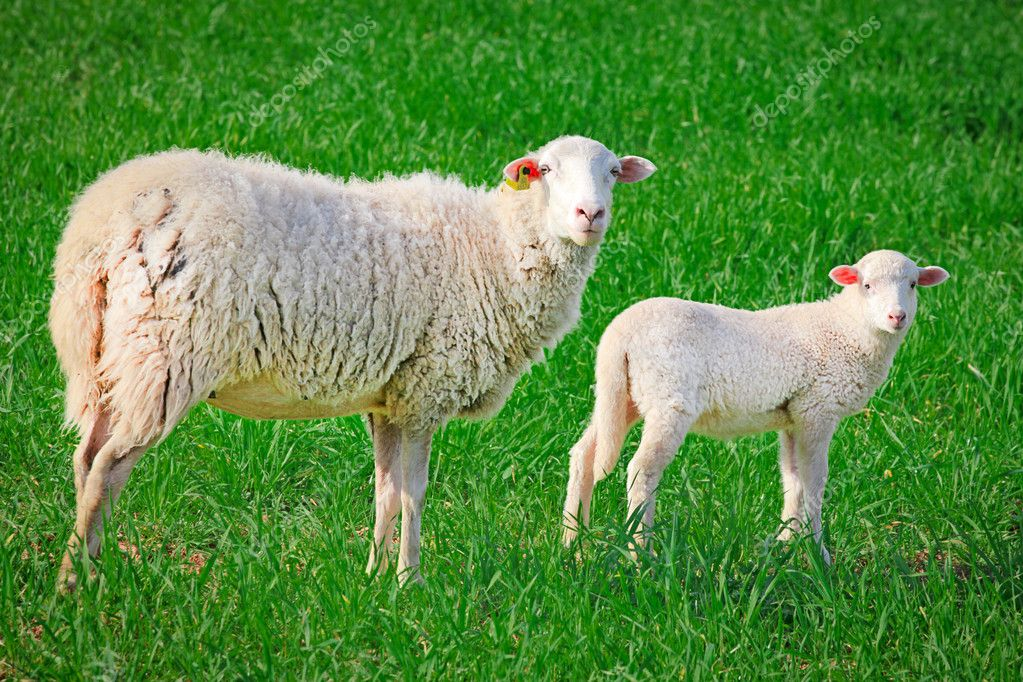 Sheep, ewe with baby lamb