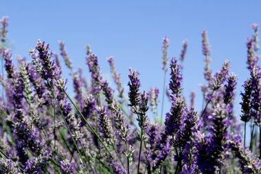 Lavender bush, aromatic plants