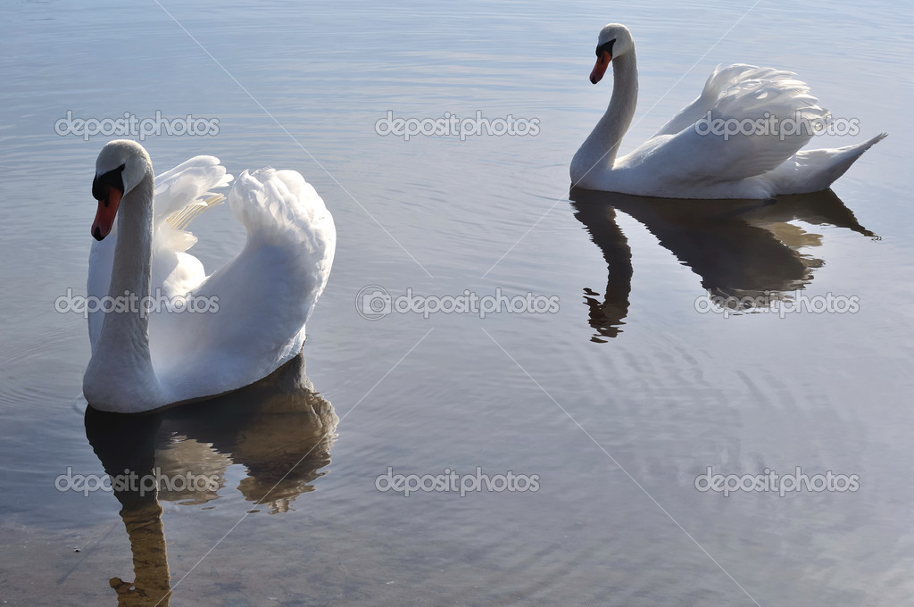 Two lovely swans