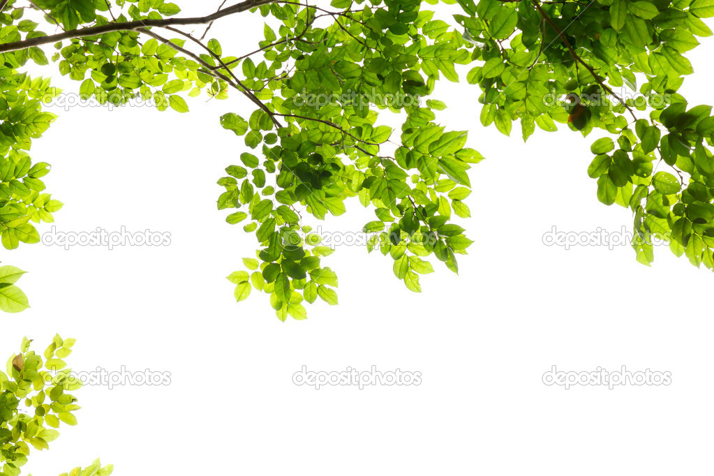 Marco De La Hoja Verde Aislado Sobre Fondo Blanco