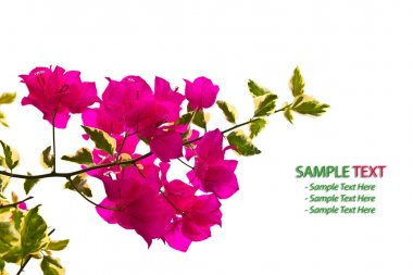 Bougainvillea Branch isolated