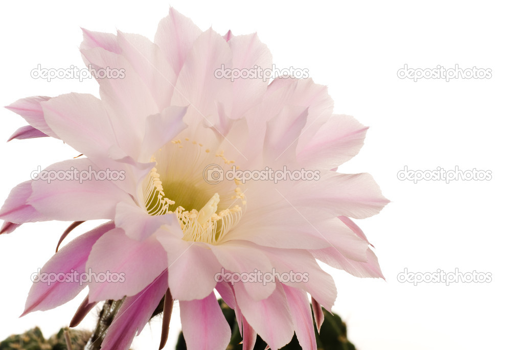 erstaunliche Kaktus Blüte — Stockfoto © giedrius #6251709
