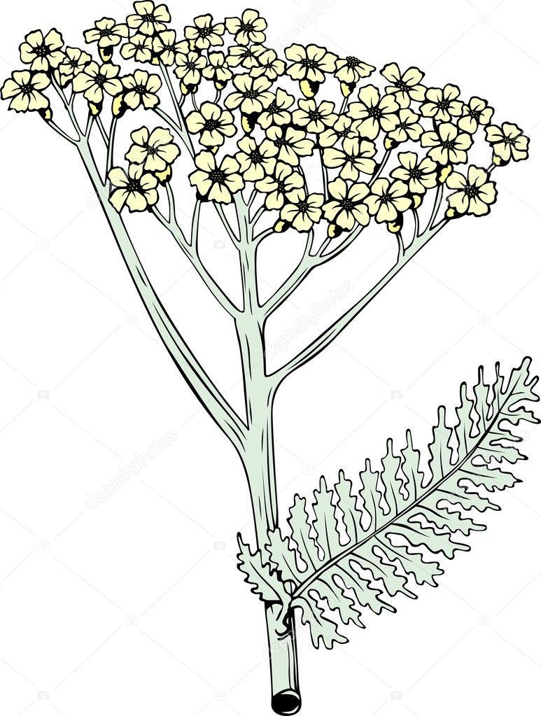 Раскраска тысячелистник цветок