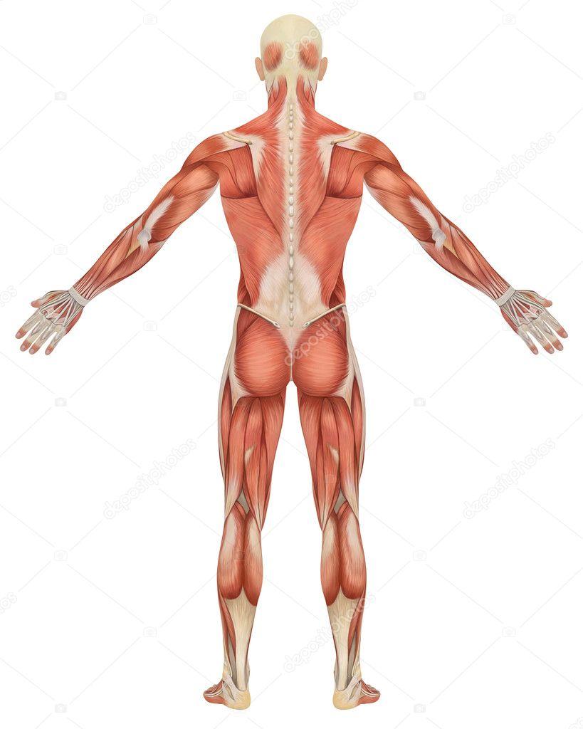 Vista posterior de la anatomía masculina muscular — Foto de stock ...