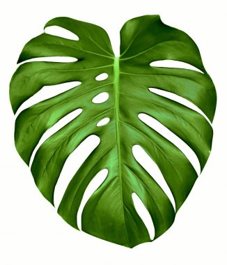 Big green leaf of Monstera plant, isolated on white. stock vector