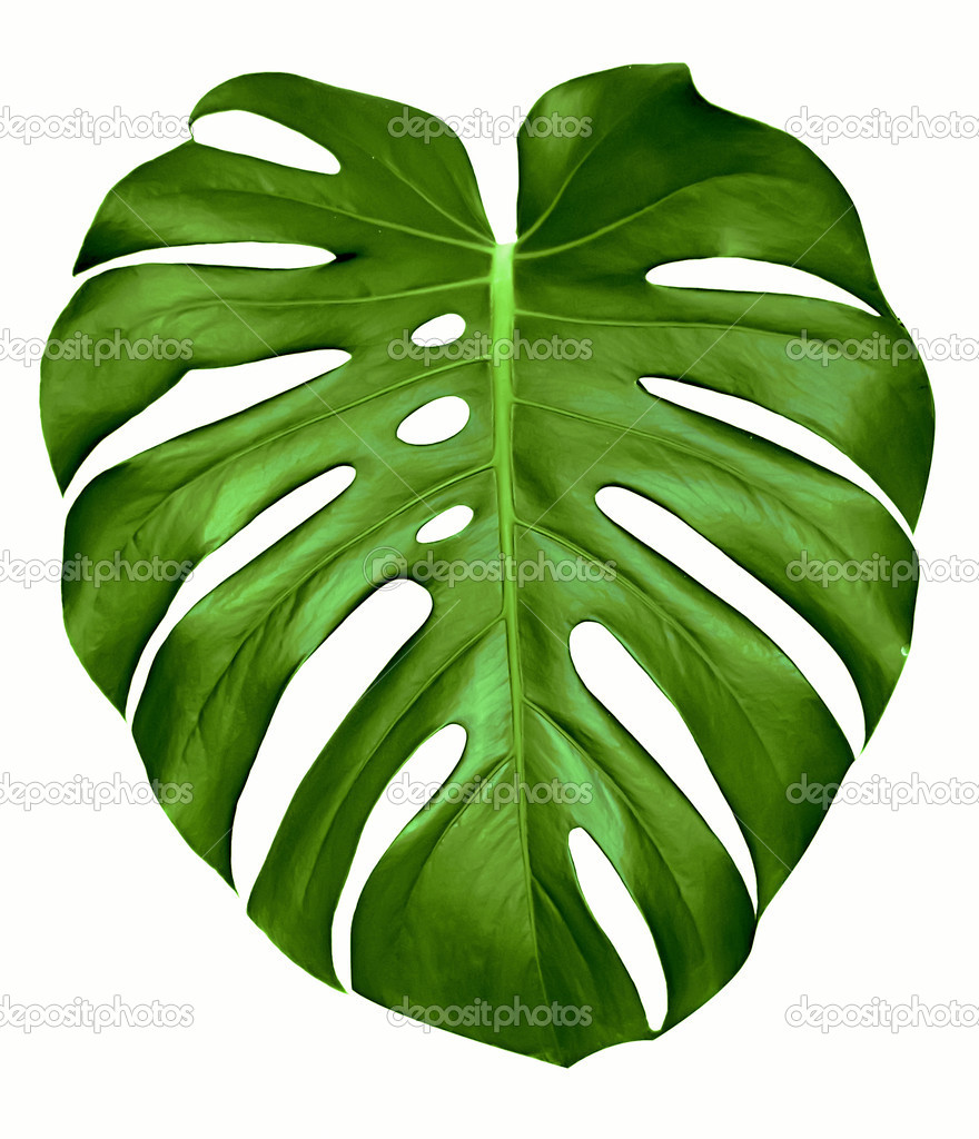 Monstera leaf.